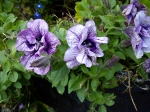 2011-10-05-butchart-gardens-vancouver-is-71.jpg