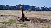 2013-01-21 Werribee Zoo (19)