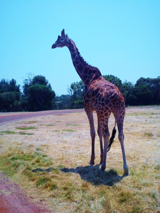 2013-01-21 Werribee Zoo (21)
