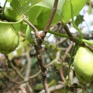 choko-vine-in-fig-tree-wm